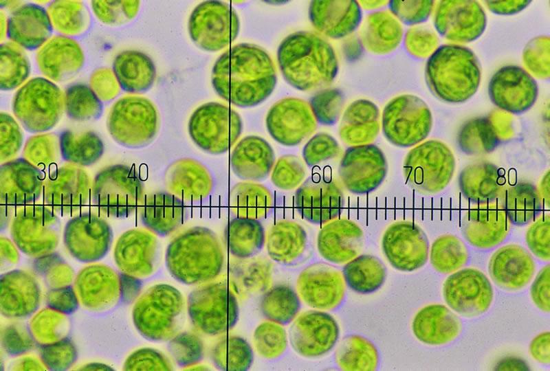 Chlorella vulgaris(小綠球藻)